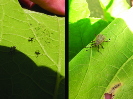 Squash Bug Appearance Changes